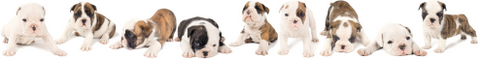 ninebulldogpuppies-1