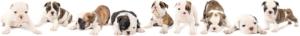 ninebulldogpuppies-1