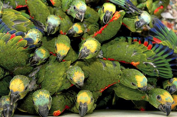 TUZAKLAR TUZAK ÇEŞİTLERİ Birds-of-a-feather-being-released-inot-wild-in-rio