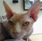 the-hairless-cat