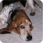 xavier-the-basset-hound