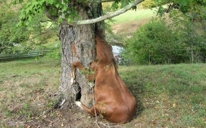 horse-stuck-in-tree