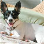 Reverse Sneezing Chihuahua Honks Or Mechanosensitive Aspiration