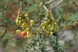 bird-of-paradise-caesalpinia