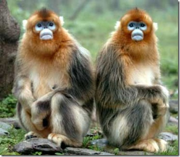 Chinese Golden Monkeys