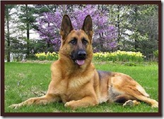 German-Shepherd-Dog