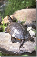 rare western pond turtle - CA