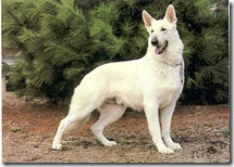 White_German_Shepherd
