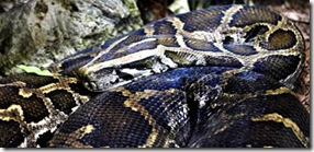 Burmese_Python