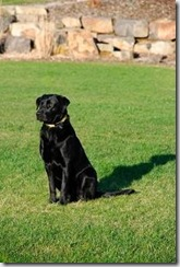 Juneau - the black lab