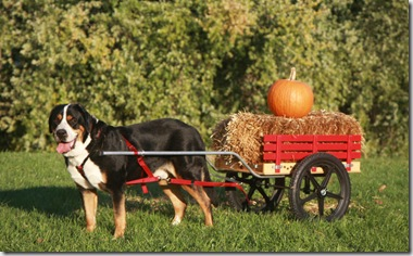 Swiss Mountain Dog Costume