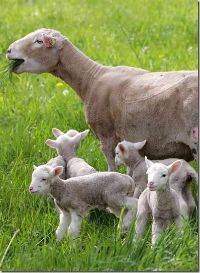 Baby Lambs and Mother - Dahlburg, Germany