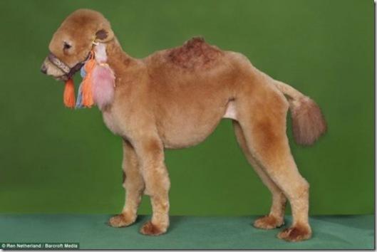 Camel Dog