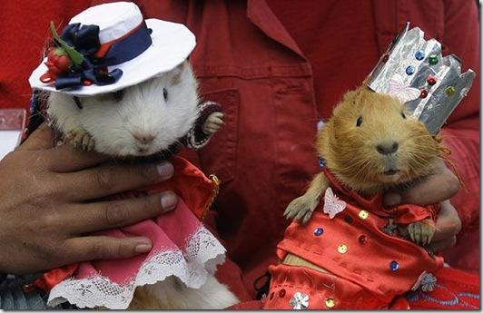 costume-guinea-pigs