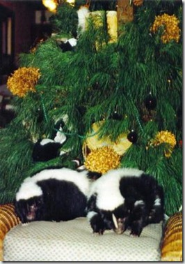 how-do-we-get-into-these-messes-skunks-and-christmas-tree4