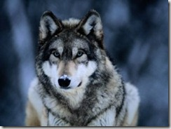 joel-sartore-gray-wolf-at-the-international-wolf-center-near-ely1
