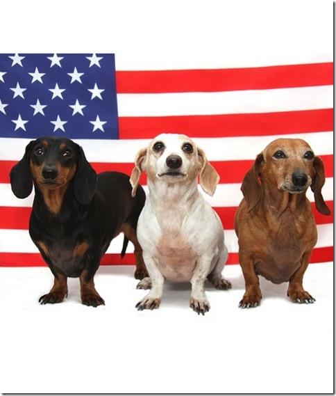 Patriotic Dachsies