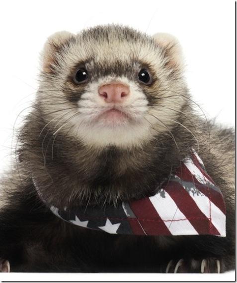 Patriotic Ferret