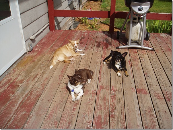 Weenies Sunning on the Deck 08.09.11