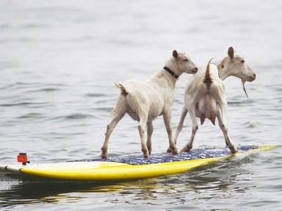 goat-surfing.jpg