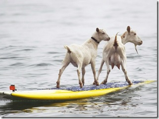 CORRECTION Surfing Goat