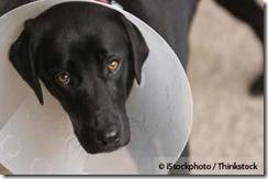 sterilized-dog