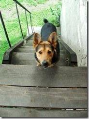 dog-walk-stairs-800x800