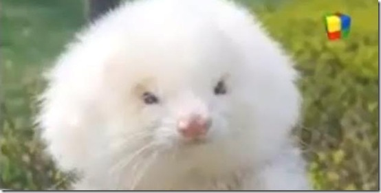 Roided Ferret
