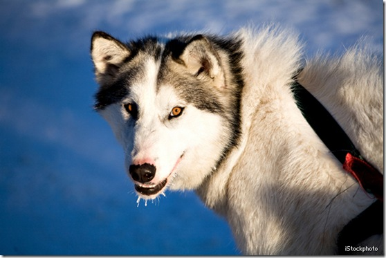 Alaskan Breeds