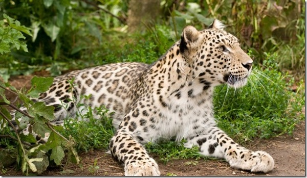 Persian-Leopard - Cubs-Born-Captivity-665x385