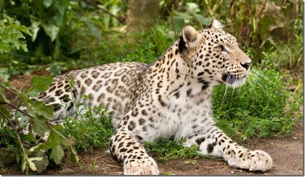 Persian-Leopard - Cubs-Born-Captivity-665x385