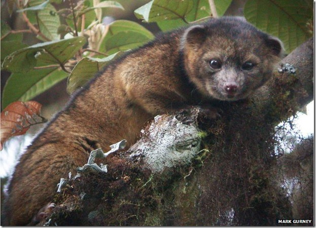 olinguito_new_mammal