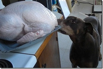 Dog Eating Raw Turkey