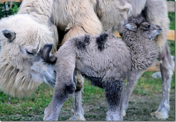 Rare Endangered Baby Camel Born in Budapest Zoo